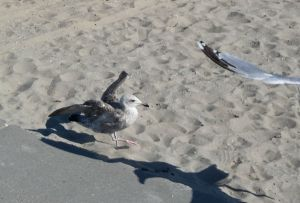 Seagull's landing on the beach