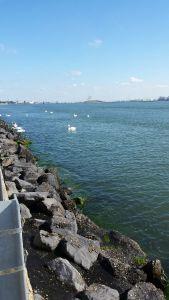 Swan invasion
