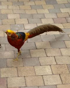 kind of pheasant