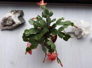 thankfulthursday Christmas cactus