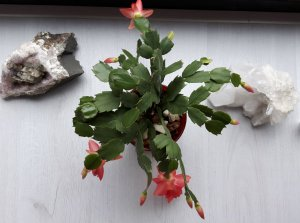 thankfulthursday Christmas cactus